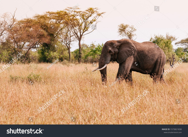 One Big African elephant in golden grass field of Serengeti Grumeti reserve Savanna forest - African Tanzania Safari wildlife trip during great migration #Ad , #Aff, #field#grass#Grumeti#Serengeti