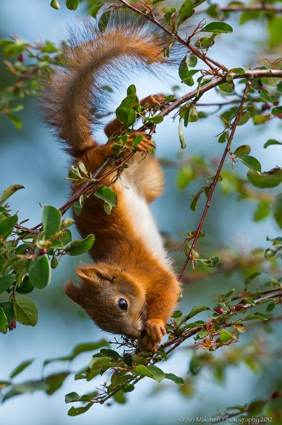 Red Squirrel upsidedown.