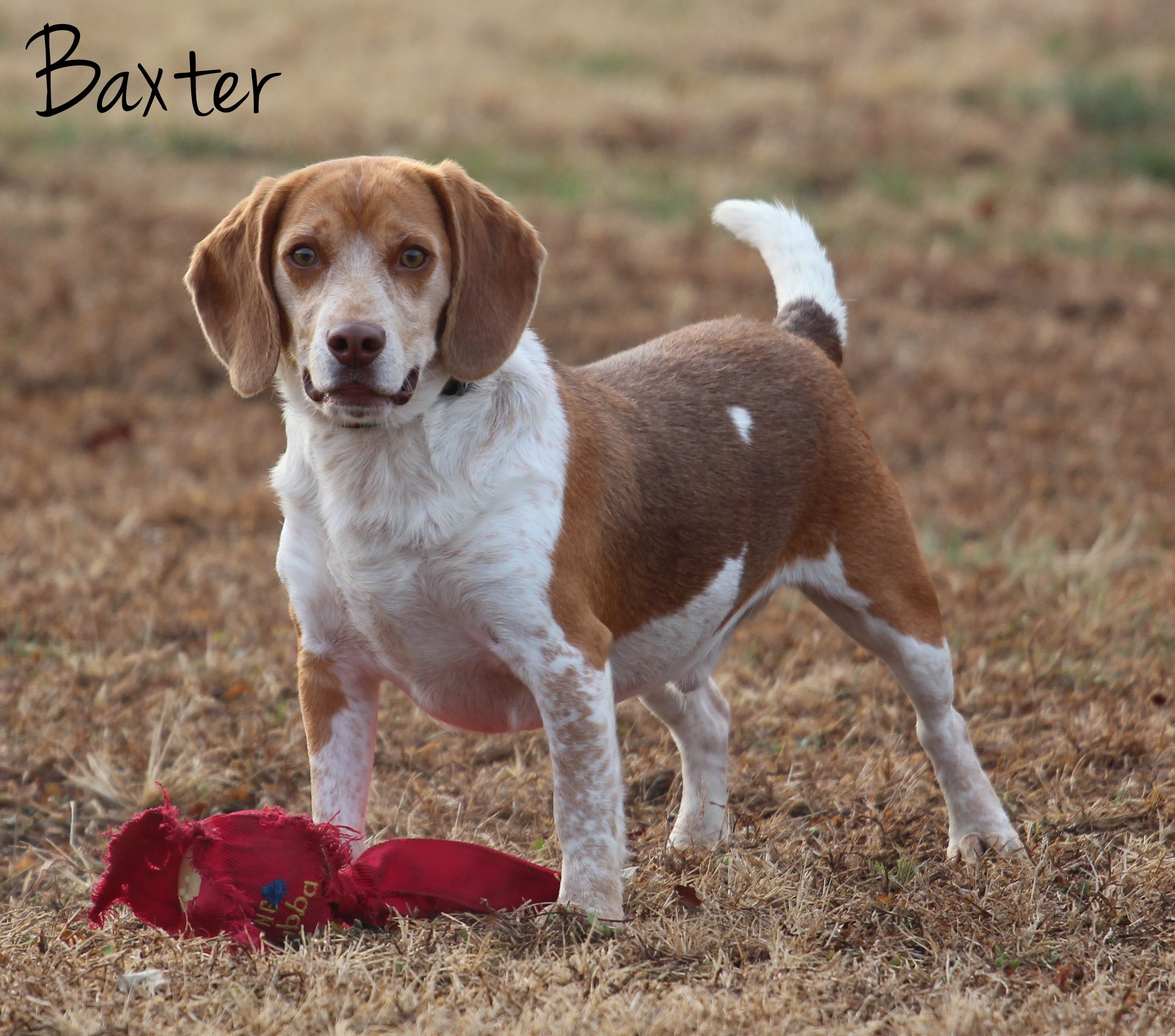 Beagle Dog For Adoption In Bardstown Ky Adn 739598 On