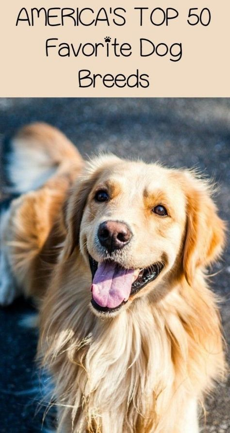 Who Are America S Top 50 Favorite Dog Breeds Dogvills Dog Breeds Dog Communication Dogs