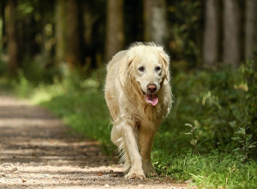 Common Eye And Heart Diseases Of Golden Retrievers