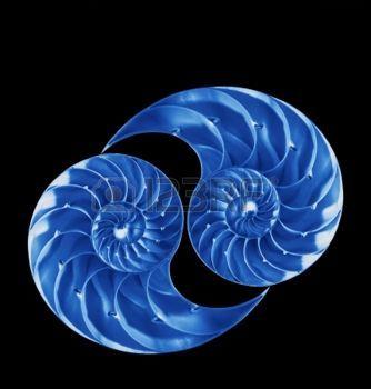 Nautilus shells in blue on black background photo