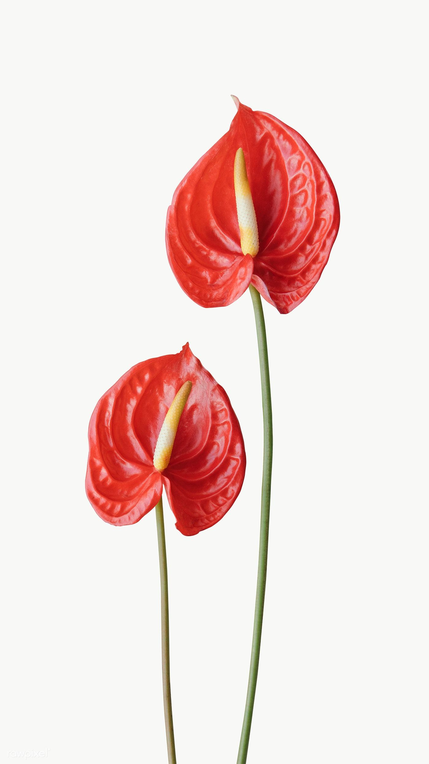 Red Anthurium Transparent Png Free Image By Rawpixel Com Nam In 2020 Anthurium Flower Flowers Photography Anthurium