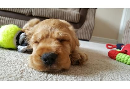 Thinking of buying a puppy for Christmas? (With images ...