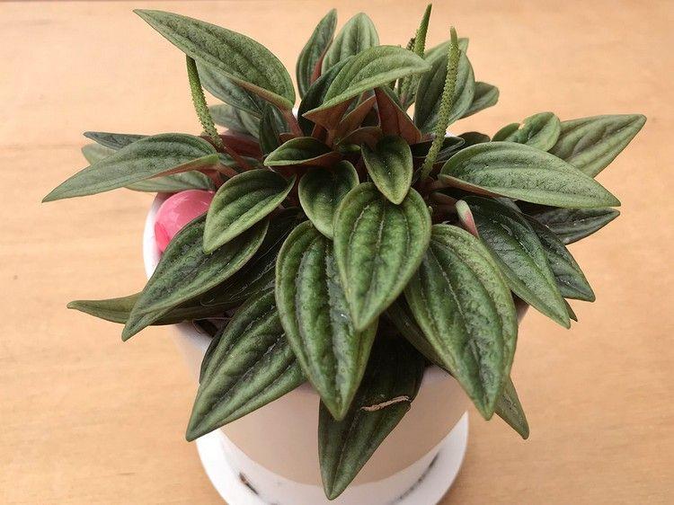 Zimmerpflanzen Die Wenig Wasser Brauchen Zwergpfeffer Pflanzen Zimmerpflanzen Indoor Garten