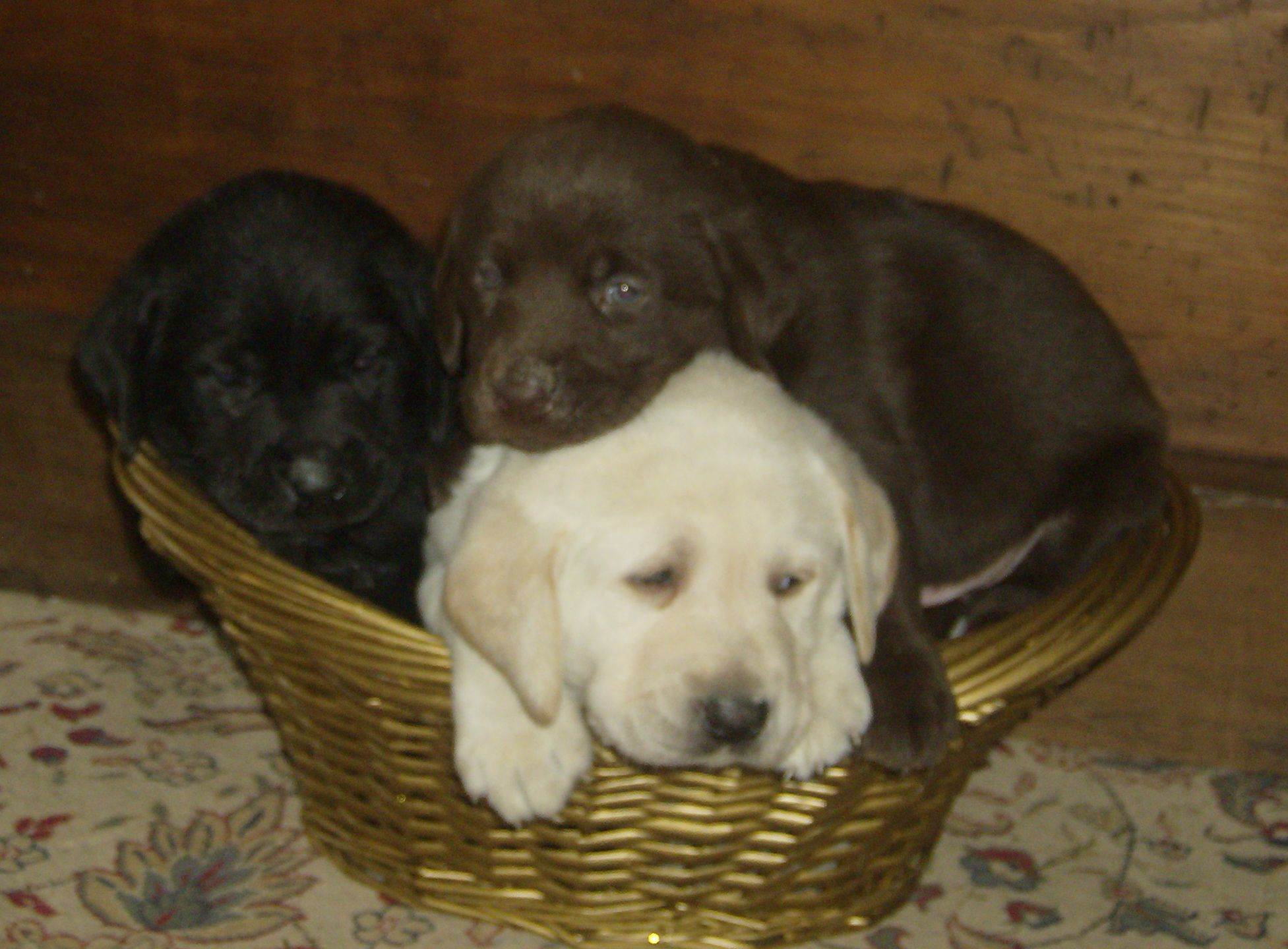 Yellow Black And Chocolate Lab Pups Beautiful Puppy Lab Puppies Dogs