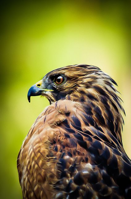 Red Winged Hawk, one of these lives in a tree just outside the window in my office