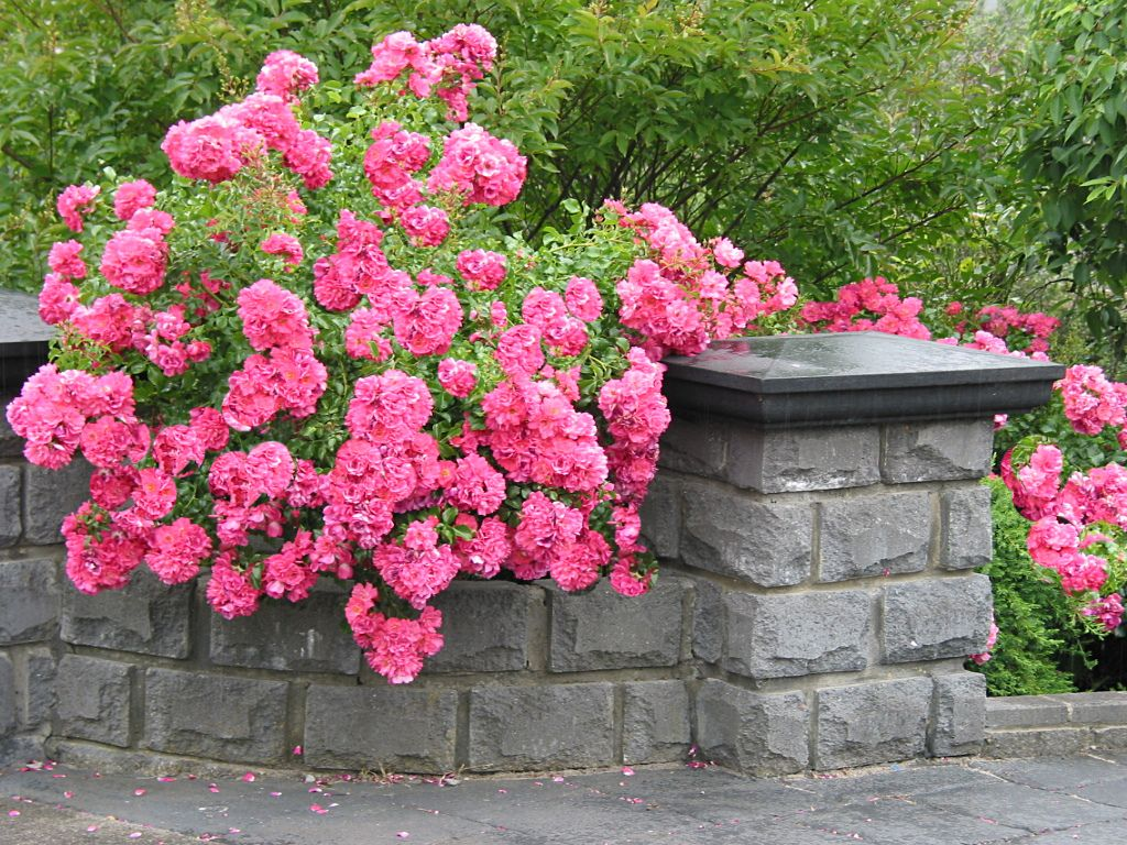 Flower Carpet Pink Roses Tumble Over Stone Wall Ideas For Garden 2
