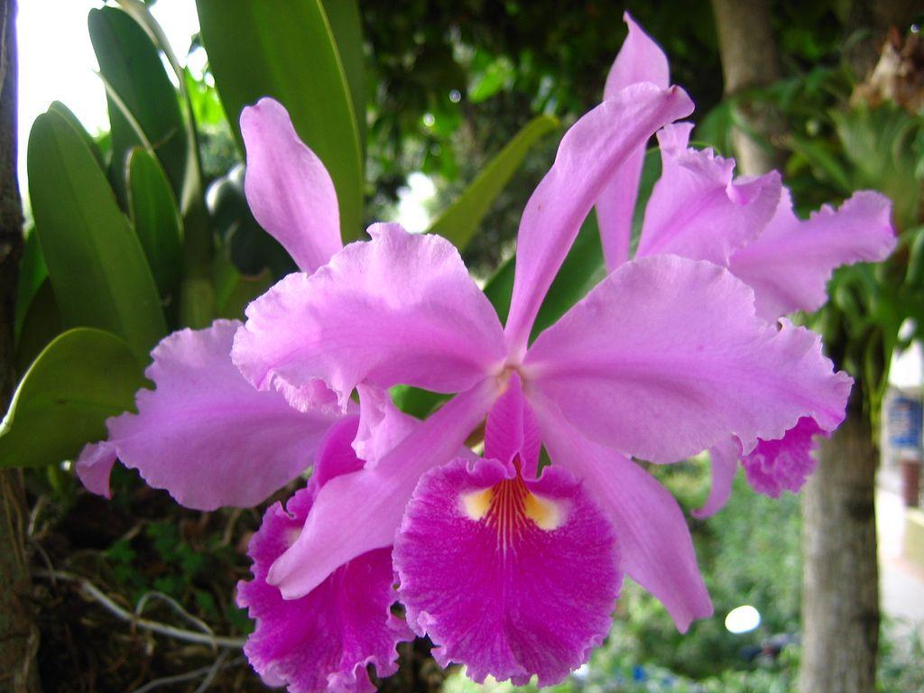 Colombian Flowers Cattleya Orchid Beautiful Flowers Flowers