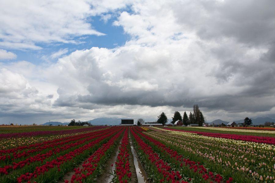 Tulips - Washington state USA