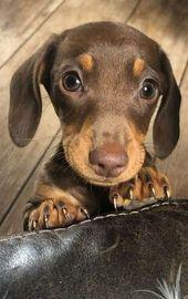 A Cute Dachshund Dog Puppy  Tiere animals A Cute Dachshund Dog Puppy  Tiere animals