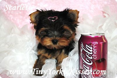 Teacup Yorkie Puppy For Sale California Yorkie Puppy Yorkie Teacup Yorkie