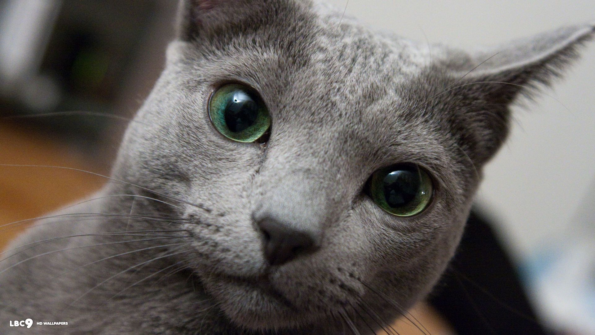 Russian Blue Cat breeds, Russian blue cat, Cat breeds