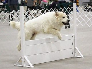 Greatpyrenees Jumping With Images Great Pyrenees Top Dog