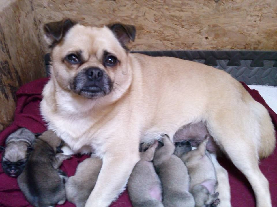 Pug puppies for adoption in maine