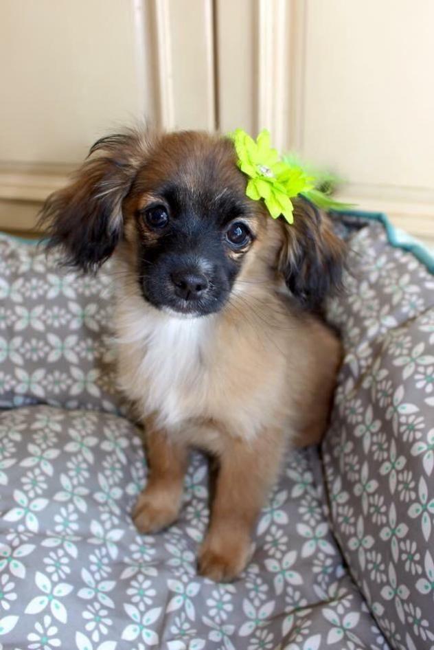 Adopt Cher On King Charles Spaniel Spaniel Dog Cavalier King Charles Spaniel