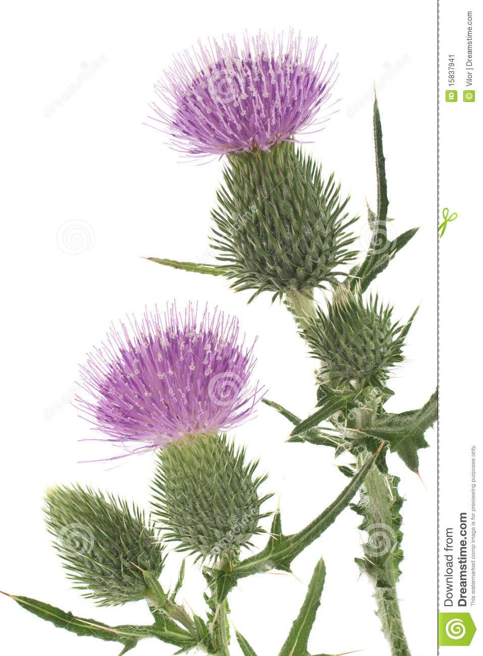 how to paint scottish heather Google Search Flower