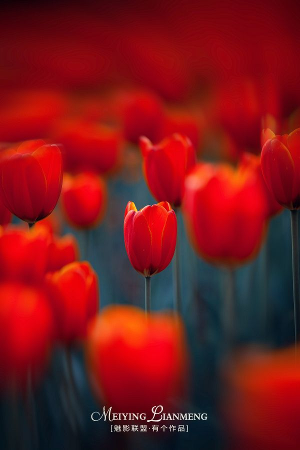梦幻郁金香 Dream is the tulip by youge on 500px