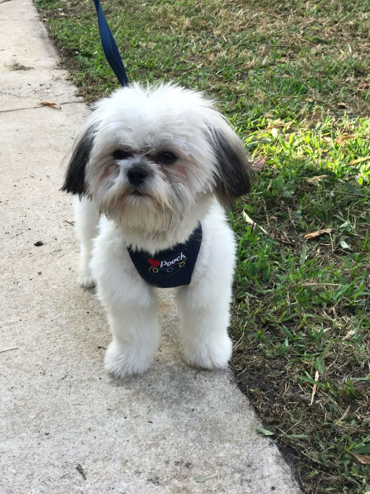 Adopt Cindy Belle On Shih Tzu Puppy Shih Tzu Cute Cats Dogs