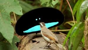 The Superb Bird of Paradise has few females & competition is fierce leading to the most bizarre & elaborate courtship displays.  He folds his black feather cape, blue-green breast shield springs upward, around its head, transforming the front of the bird into a spectacular ellipse-shaped creature that rhythmically snaps its tail feathers against the ground while hopping in circles around the female. Blue plumage is  similar to a cartoon face.  The female rejects 15-20  suitors before mating.