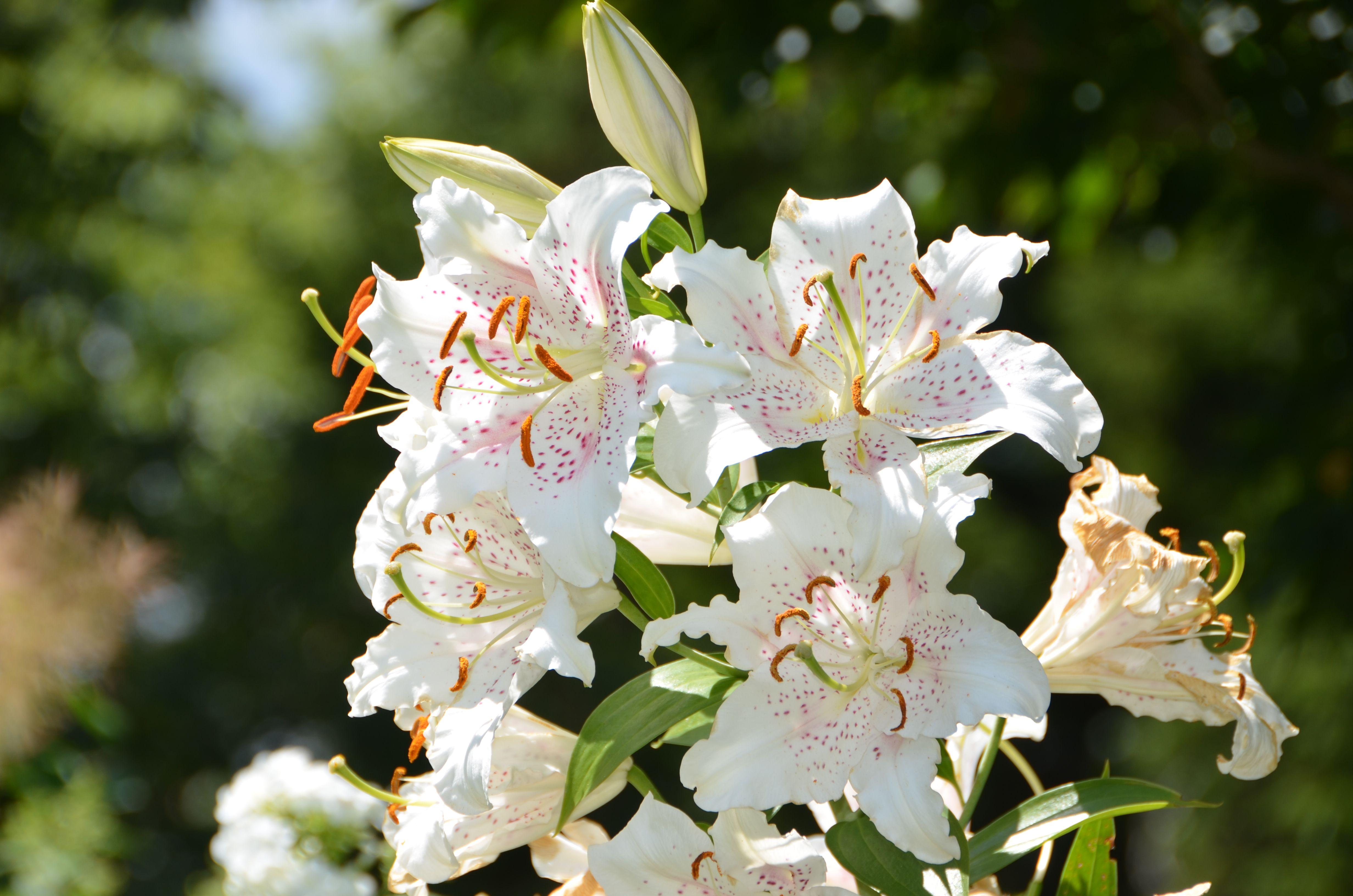 Lilium 'Muscadet' (Oriental Lily) at Coastal Maine Botanical Gardens.