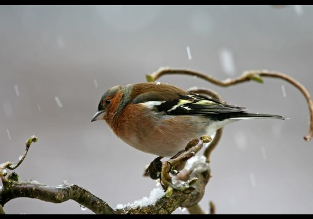 Serie Vogels Nederland - Vink - National Geographic Nederland/België