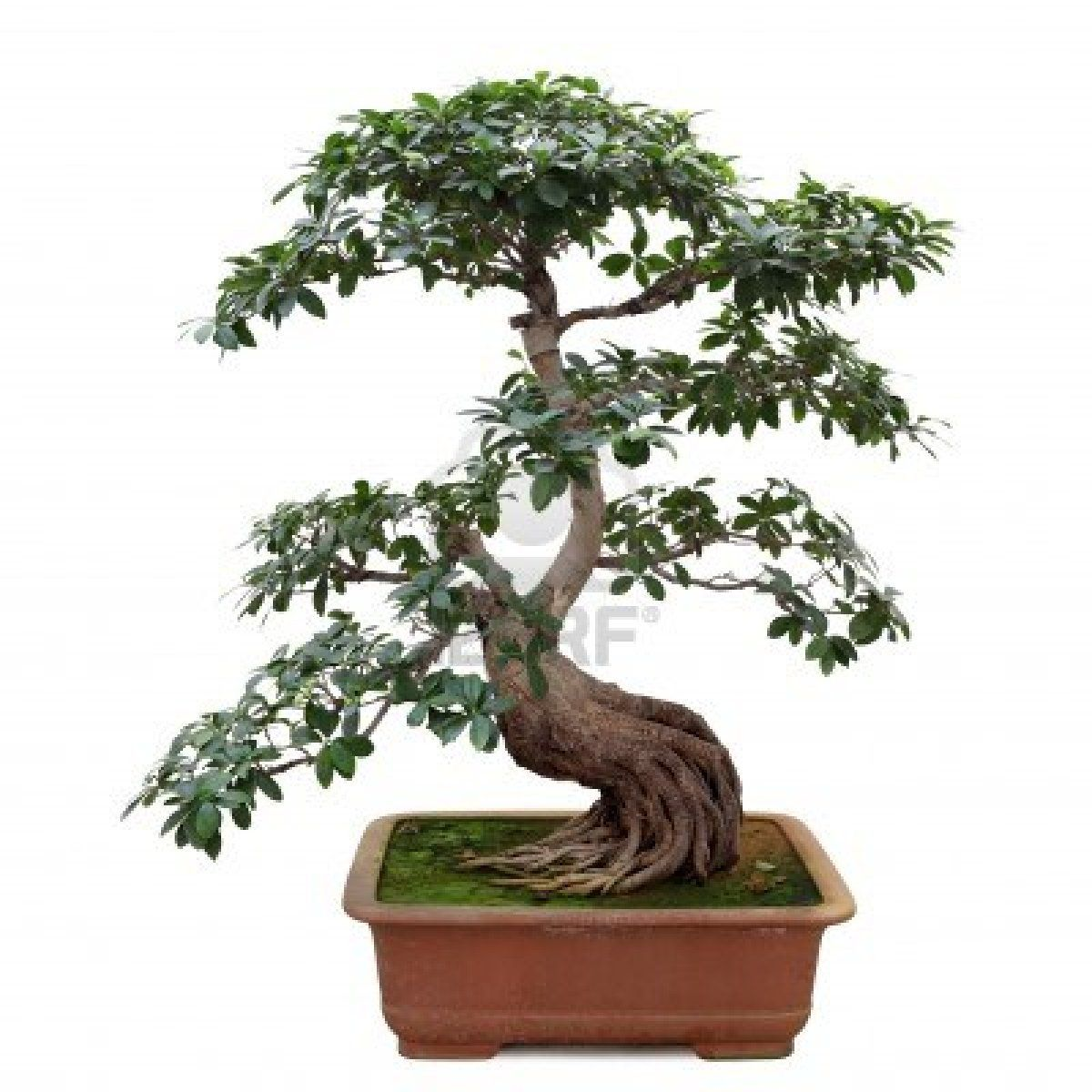 Stock Photo Pohon Bonsai Bonsai Pohon