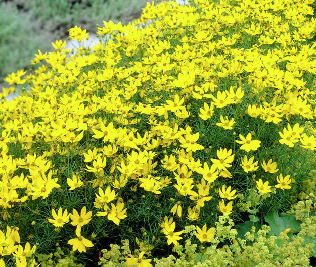 Summer flowers yellow flowers plants and flowers these yellow flowers will bloom all summer 25 perfect summer flowers by pioneer settler at httppioneersettlertypes of flowers to plant summer mightylinksfo
