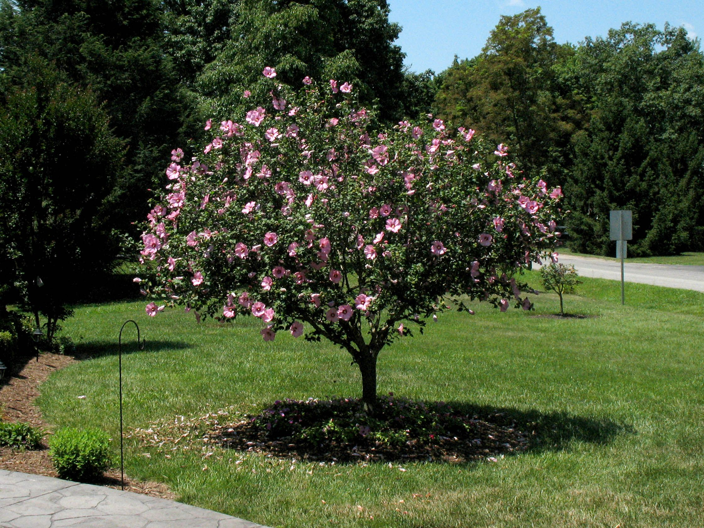Images For > Rose Of Sharon Tree   Rose of sharon tree, Rose trees, Rose of sharon