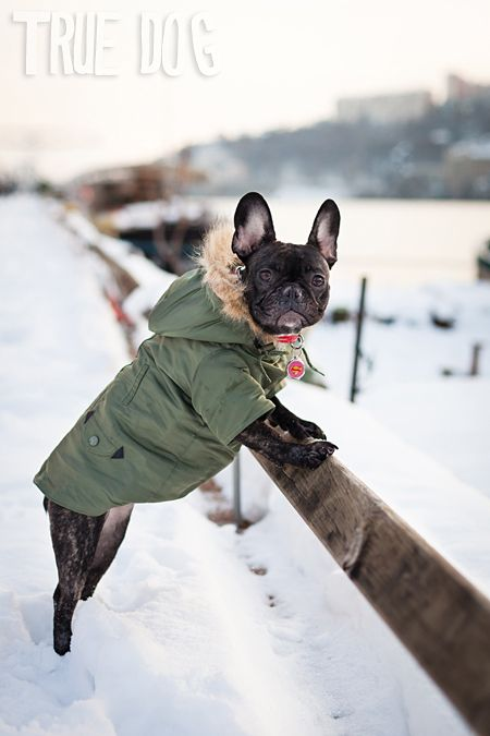 Frenchie In Lyon France The Parka Eee Baby Dogs Dog Parka French Bulldog