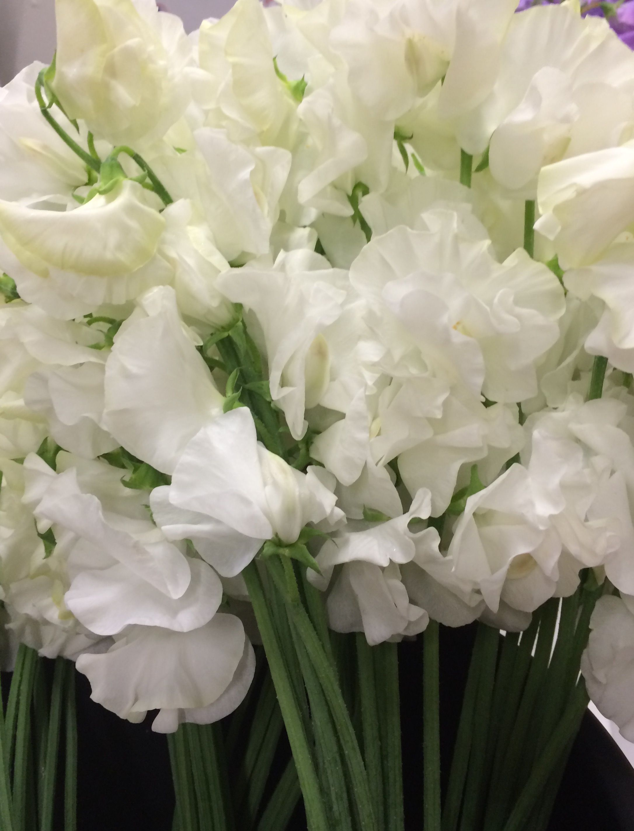 Perfect White Japanese Sweet Pea White Flowers Pinterest