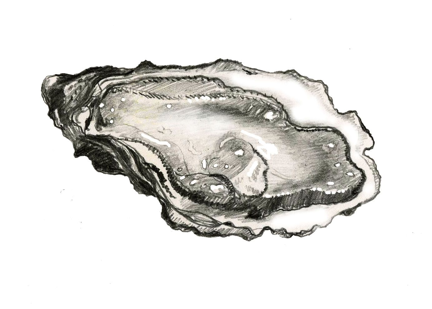 Oyster illustration | Drawings