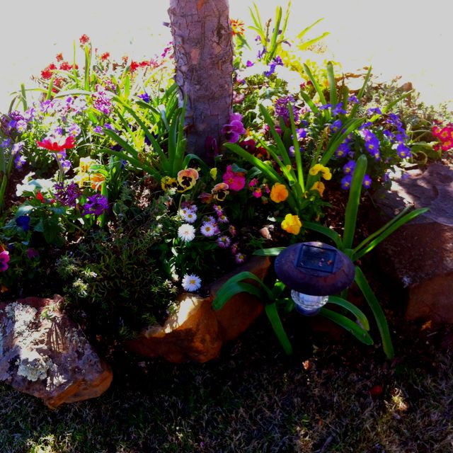 Mixture Of Bulbs And Pansies Planted Last Fall With New