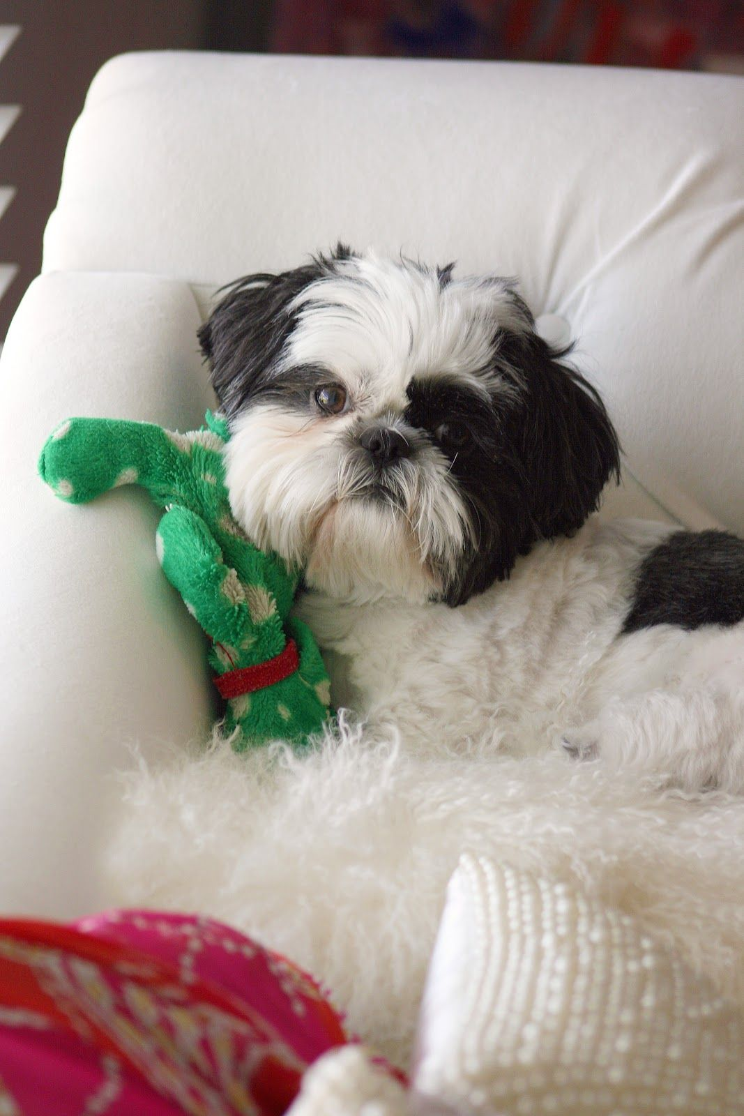 Cutest Dog Every My Shih Tzu Delilah Our Spoiled Little Girl