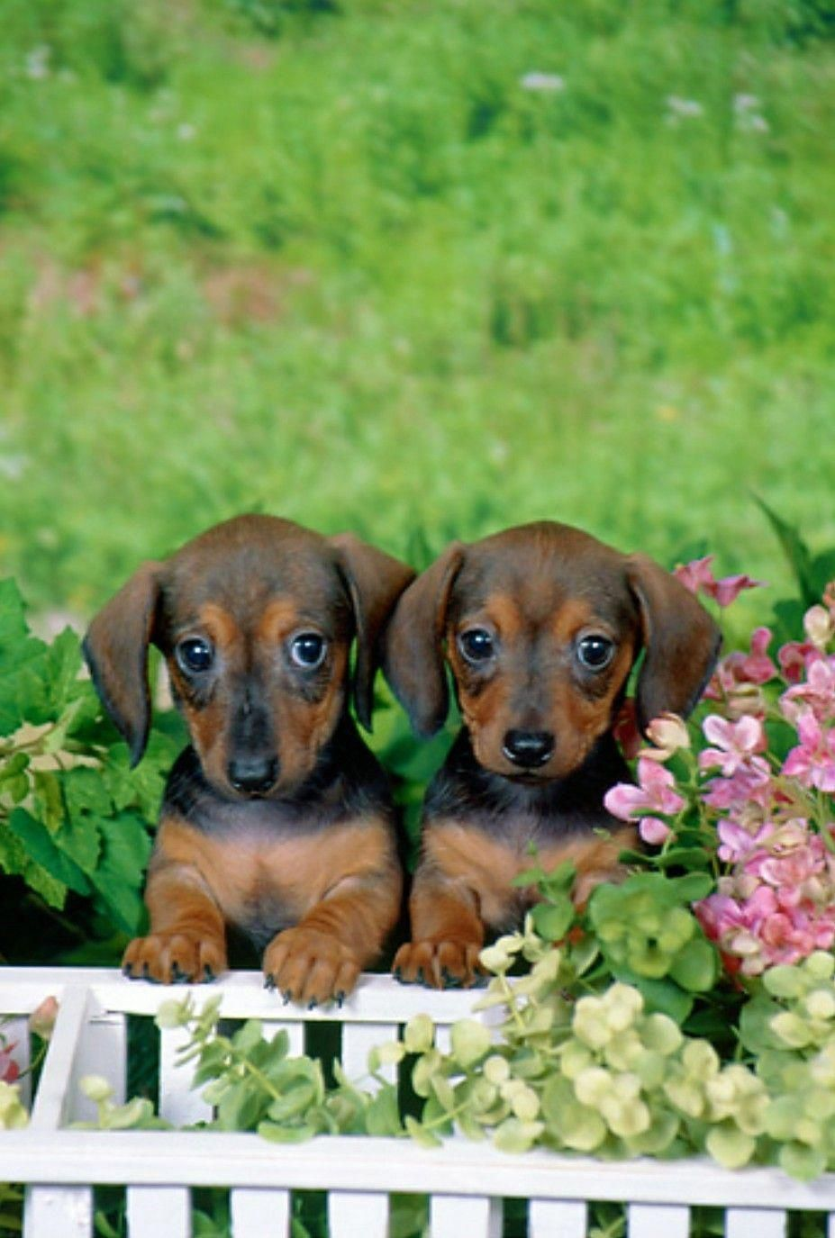 Everything About The Vigilant Daschund Puppies Size