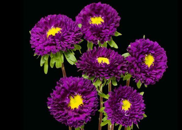 Purple Matsumoto Flowers J R Roses Wholesale Flowers In 2020 Wholesale Flowers Wholesale Fresh Flowers Bulk Roses