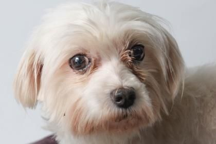 Adopt Sara, a lovely 8 years  5 months Dog available for adoption at Petango.com.  Sara is a Maltese and is available at the National Mill Dog Rescue in Colorado Springs, Co. www.milldogrescue.org  #adoptdontshop  #puppymilldog  #rescue  #adoptyourfriendtoday