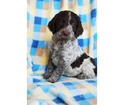 Dogs For Sale In Seattle Washington Springerdoodle Beautiful Dogs Puppies