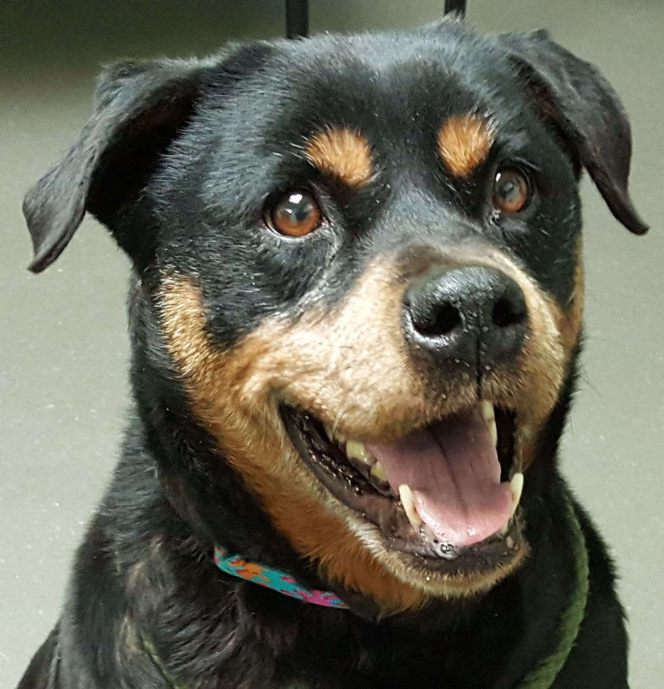 Rottweiler Dog For Adoption In Hillsboro Nh Adn 786396 On