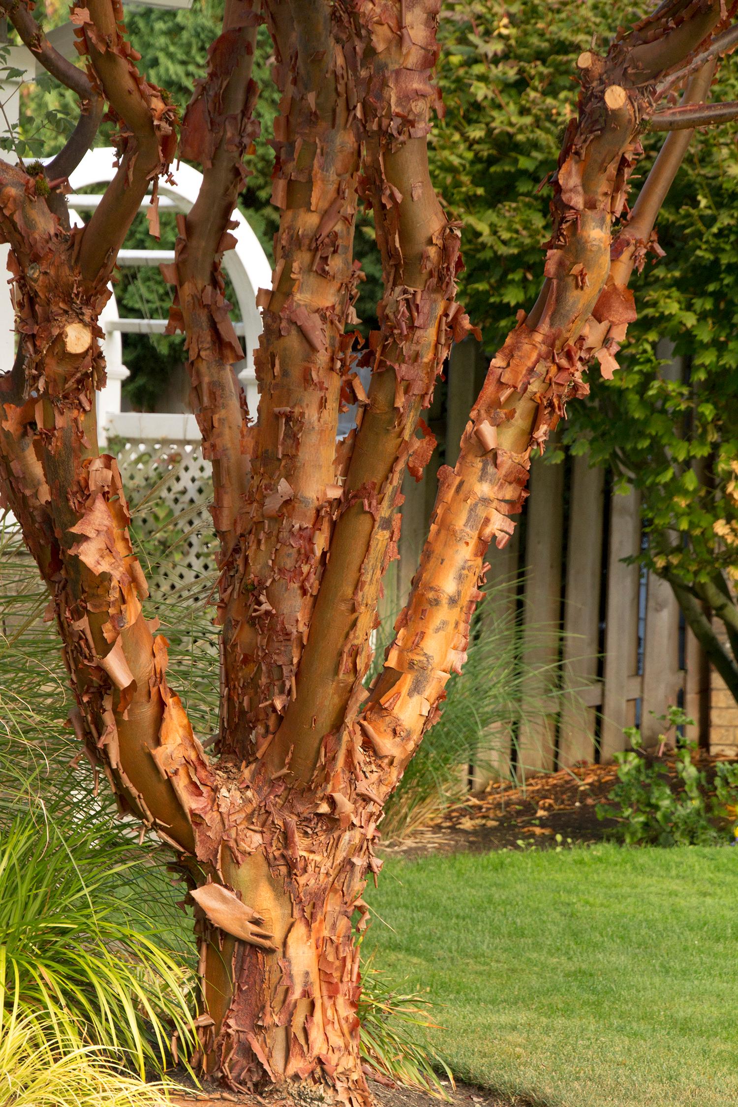 Paperbark Maple Monrovia Paperbark Maple Specimen Trees Deciduous Trees Backyard Trees