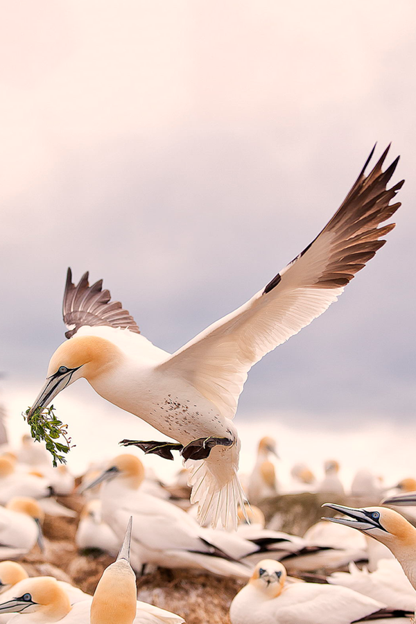 Gannets: (©)