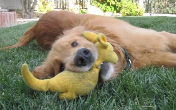 Adopt Winslow On Golden Retriever Rescue Dogs Golden Retriever