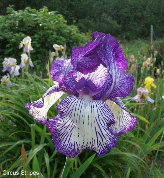 "'Circus Stripes' ( Gordon Plough, R. 1975). Sdlg. 69-17-3. TB, 30"" (76 cm), Midseason bloom. Standards white, edges veined campanula violet, heavier at tip; Falls white, overall veining of campanula violet; white to yellow beard. 'Winner's Circle' X 66-73-19, sib. Eden Road 1976."