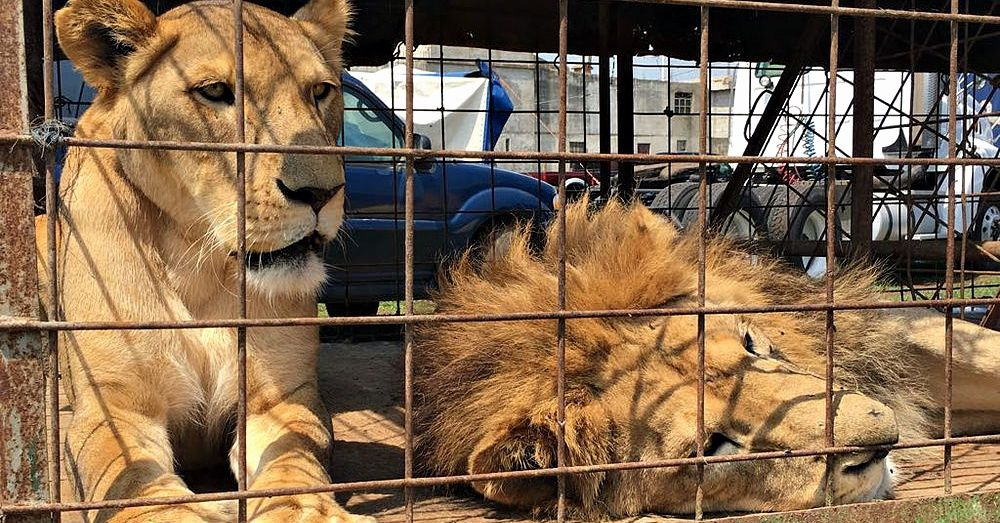 Guatemalan Circus Lions Rescued From Despicable Conditions Are Finally Home In Africa African Cats Lion Lion Africa