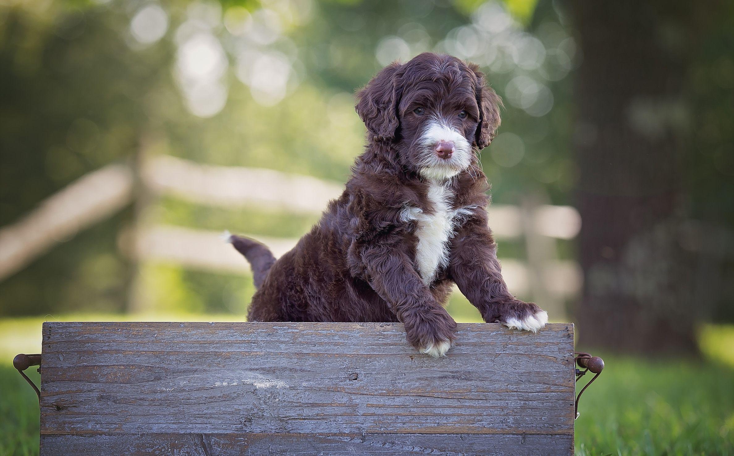 Labradoodle Puppies For Sale Labradoodle Breeders Bordoodle