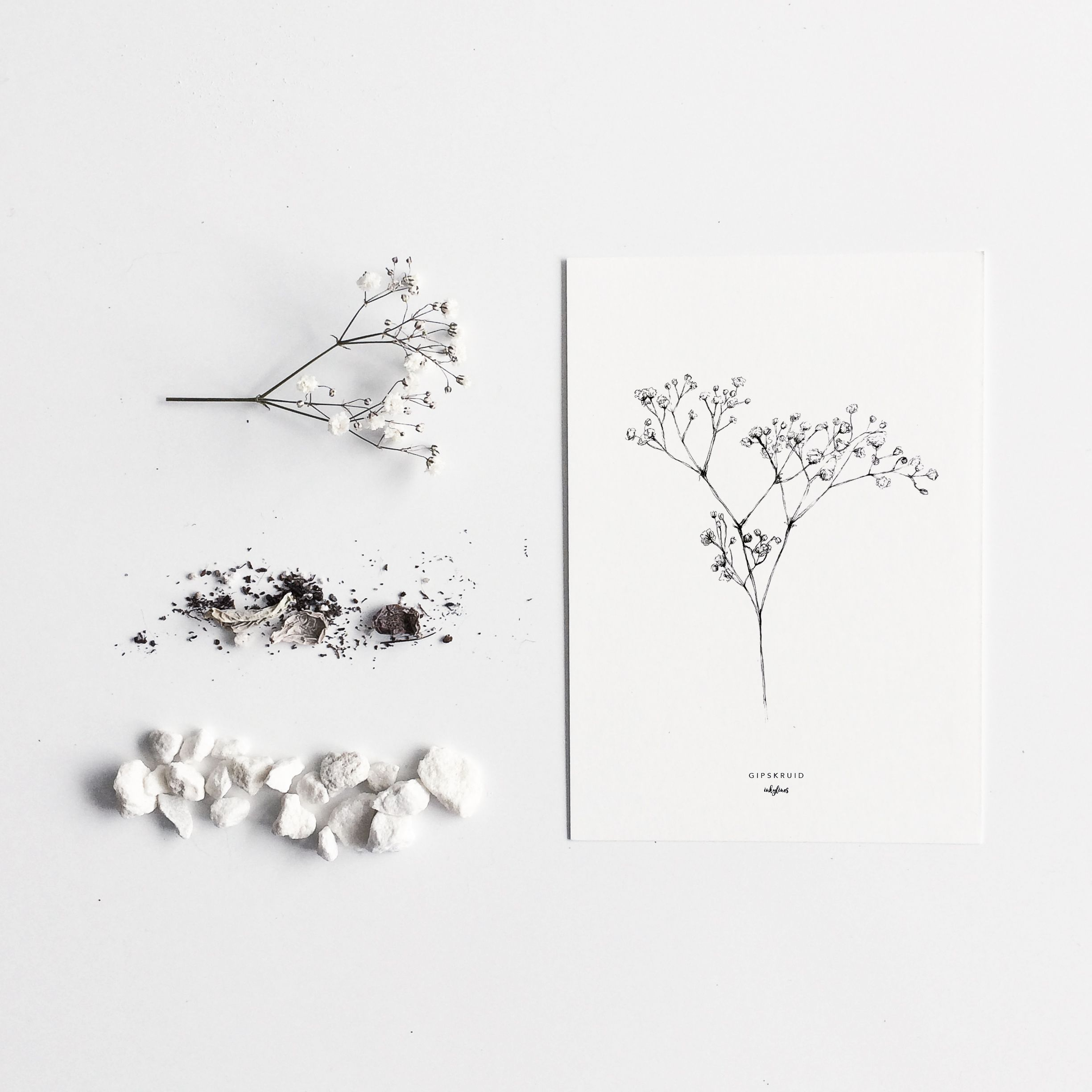 drawing of gypsophila also known as babys breath its name derives from the meaning