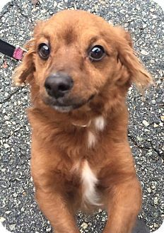 Oak Ridge Nj Pomeranian Dachshund Mix Meet Sigmund A Dog For Adoption Little Sigmund Is An Adorable Approximately 2 Year Old Doxie P