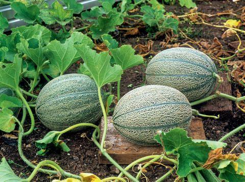 Wassermelone Pflanzen Kaufen : melonen hochbeet pinterest ~ Watch28wear.com Haus und Dekorationen