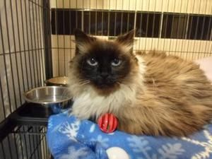 Adopt Mason On Pet Finder Cute Animals Ragdoll Cat