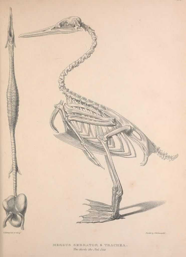 Pin von VictoriaART auf skeletons of birds | Pinterest